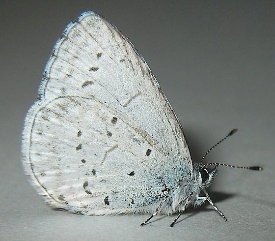 Pacific Azure Butterfly - Celastrina echo