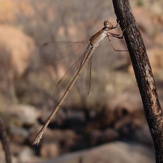 tan damselfly - Lestes alacer - female