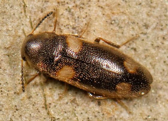 small melandryid - Spilotus quadripustulatus