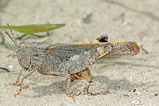 Acrididae - Arphia conspersa - female