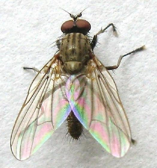 Root-Maggot Fly - Delia - male