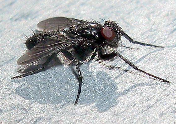 Fly 67 - Melanophora roralis
