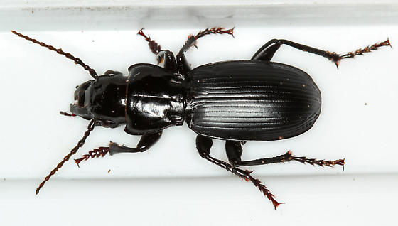 giant black ground beetle #2967 - Pterostichus lama ...