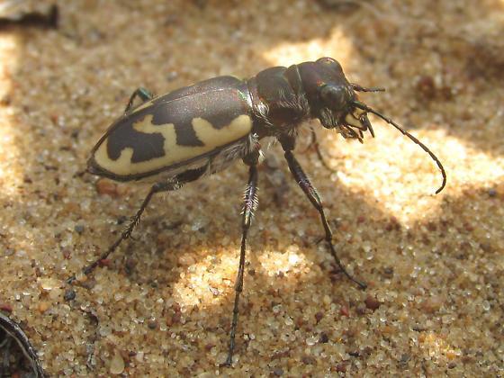 Cicindela formosa generosa - Cicindela formosa - female