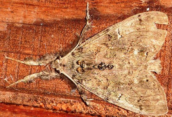Werewolf-like moth - Dasychira - BugGuide Net