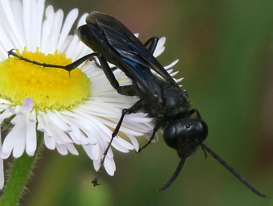 Unidentified Spider Wasp - Sphex pensylvanicus