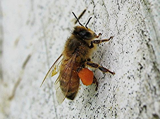 Apiis melliferra wondering if she has the strength to lift off with all that baggage. - Apis mellifera - female