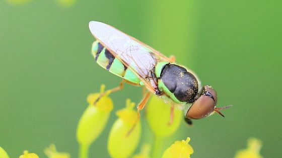Odontomyia cincta? - Odontomyia cincta - male