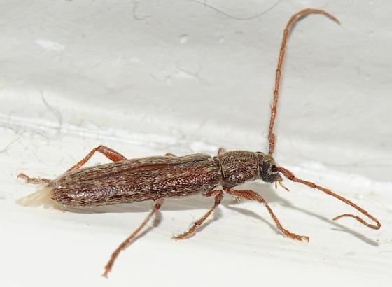 Long, slender beetle