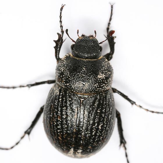 Phyllophaga cribrosa (LeConte) - Phyllophaga cribrosa