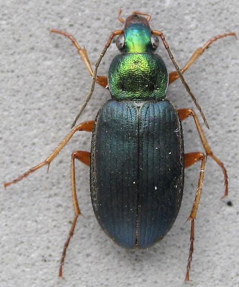 A smaller Chlaenius, tricolor? - Chlaenius nebraskensis
