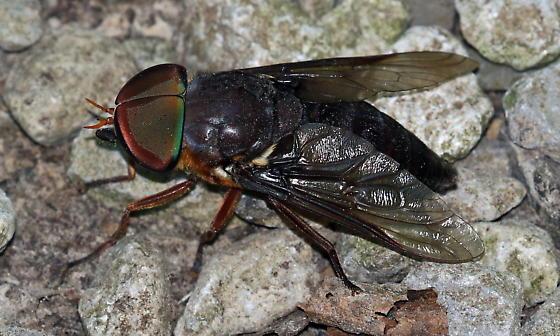 My, what big eyes you have - Tabanus americanus - male