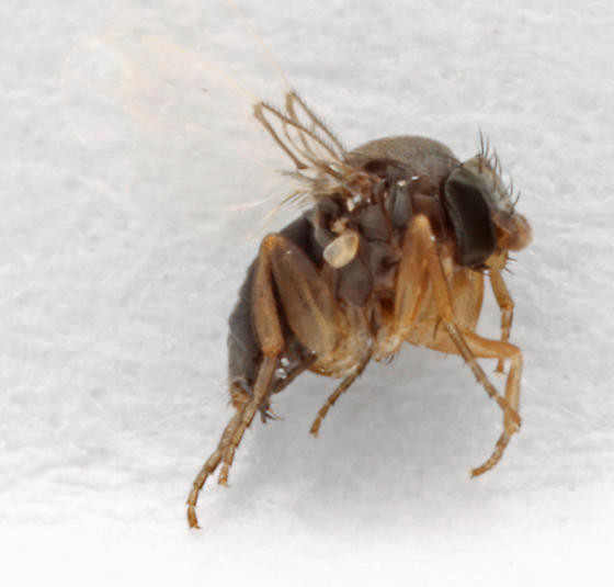 Pseudacteon fly attacking fire ants - Pseudacteon tricuspis - female