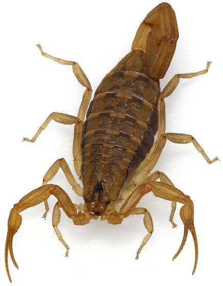 Arizona Bark Scorpion? - Centruroides sculpturatus