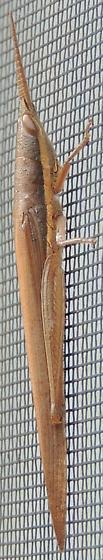 Cattail Toothpick? - Leptysma marginicollis