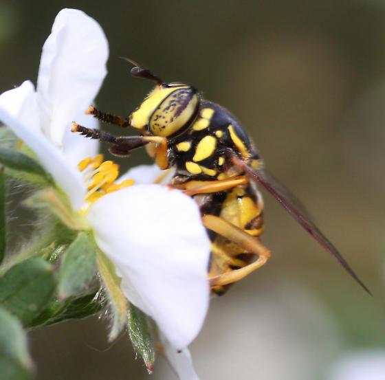 Syrphidae  - Spilomyia citima