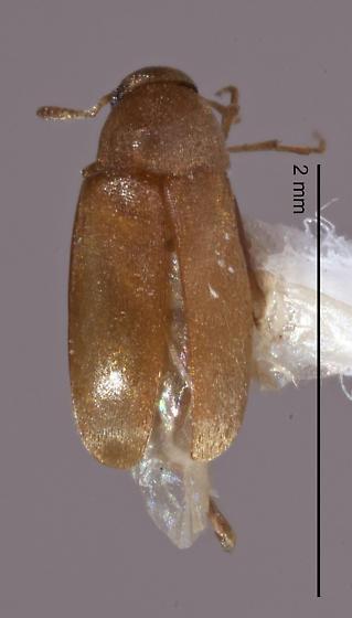 Scraptiidae