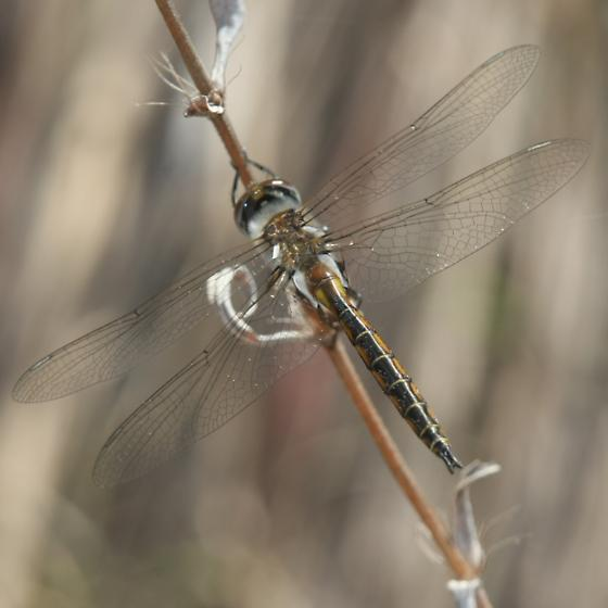 Florida Baskettail - Epitheca stella - male
