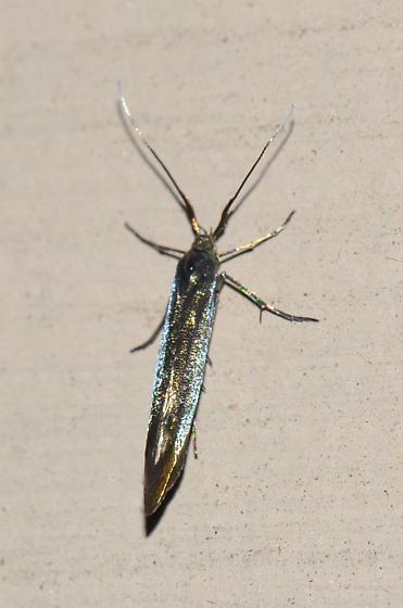 Seed casebearer? - Coleophora trifolii