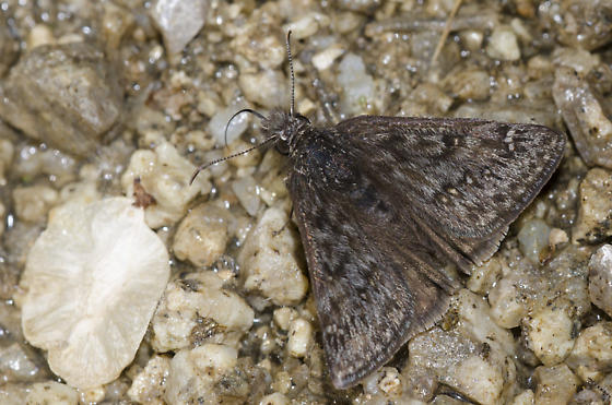 Rocky Mountain Duskywing - Erynnis telemachus - male
