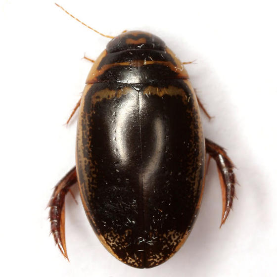 Thermonectus basillaris (Harris) - Thermonectus basillaris
