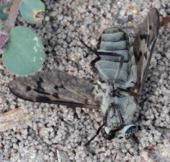 Drab Green Deer Fly - Silvius sayi