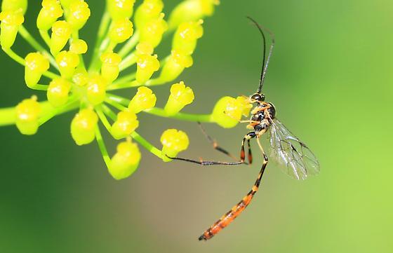 Eiphosoma male maybe - Eiphosoma - male