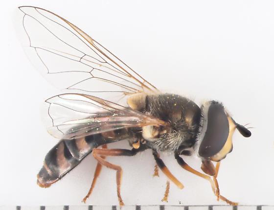 Syrphidae, lateral - Eupeodes volucris