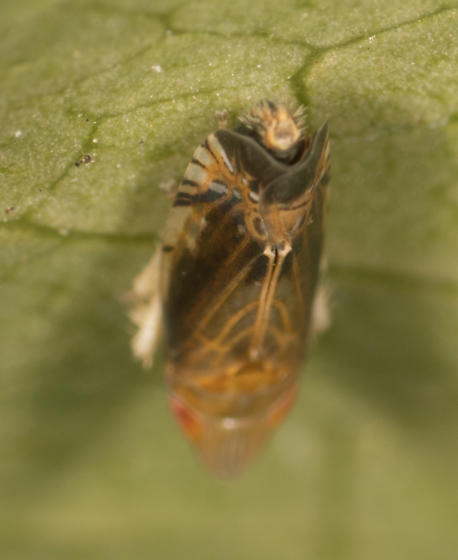 Leafhopper in La Habra Heights California - Scaphytopius majestus