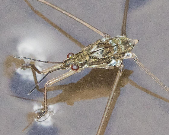 Small water strider