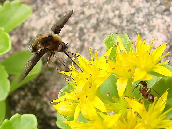 Bee Fly - Bombylius fulvibasoides - male