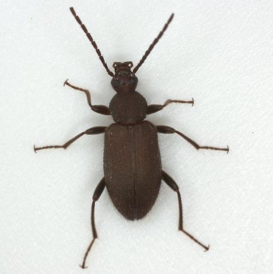 Lystronichus piliferus Champion - Lystronichus piliferus