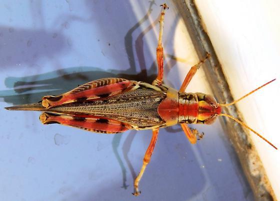 acrididae - Melanoplus arizonae - female