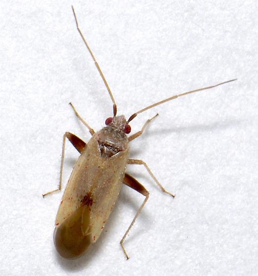 Another tiny Mirid of some kind - Parthenicus wheeleri