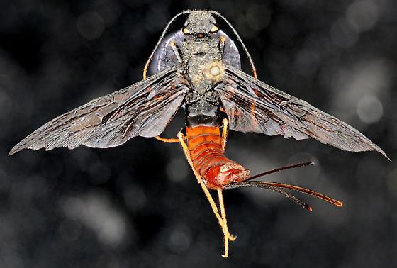 Xeris morrisoni female, dorsal - Xeris morrisoni - female