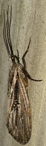 Phryganea sayi - male