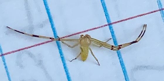spider082520 - Misumessus oblongus