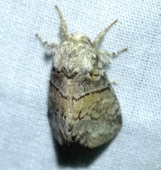 Common Gluphisia - Gluphisia septentrionis