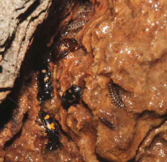 larva feeding at tree wound