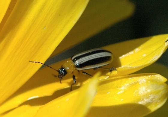 Striped cucumber beetle? - Acalymma trivittatum