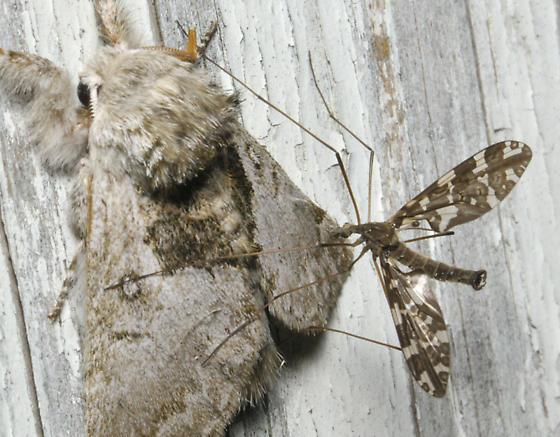 Gray moth with passenger - Protoplasa fitchii - male