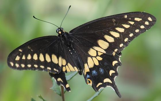 Black swallowtail? View 3 - Papilio polyxenes