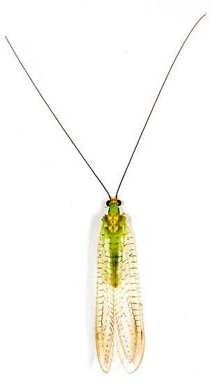 Green Lacewing - Leucochrysa pavida