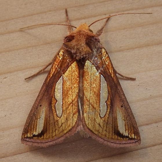 Noctuidae: Plusia contexta - Plusia contexta