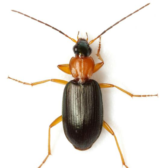Agonum decorum Say - Agonum decorum
