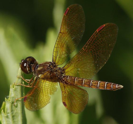 Eastern Amberwing_Perithemis tenera - Perithemis tenera - male