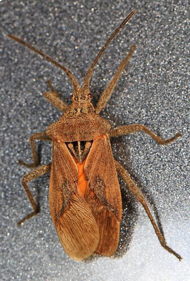 True Bug - Eubule spartocerana