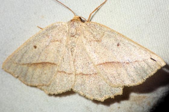 Euchlaena irraria - female