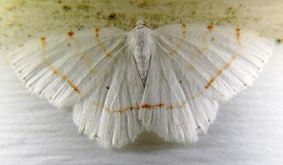 white moth - Macaria pustularia