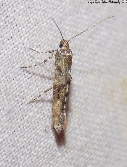Moth - Epermenia